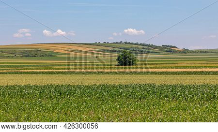 Corn Maize Green Fields At Sunny Spring Day