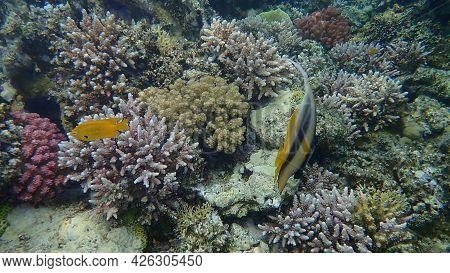 Red Sea Bannerfish (heniochus Intermedius) And Sulphur Damsel (pomacentrus Sulfureus) Undersea, Red