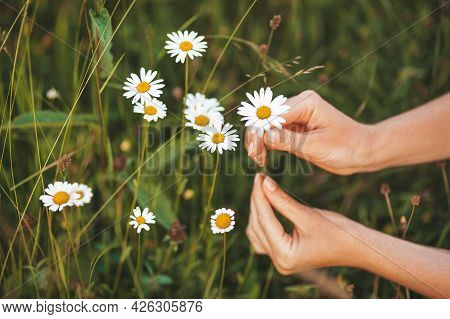 Picking Medicinal Herbs In The Meadow. Hands Pluck Chamomile Flowers.
