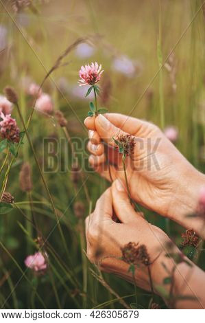 Homeopathy Herbs. Hands Pluck A Wild-growing Clover In The Meadow. Traditional Medicine.
