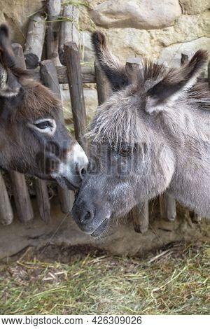 Donkey Family At The Farm. Couple Of Donkeys.