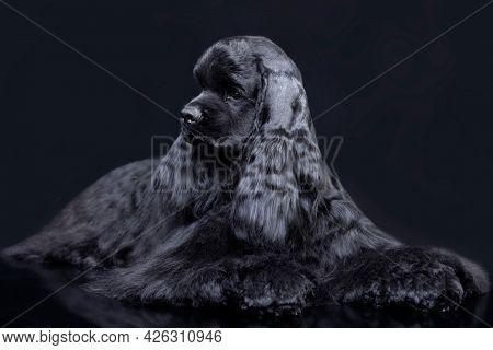 American cocker spaniel on black background