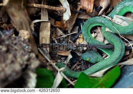 Beautiful Large Eyed Viper Sleeping. Close-up Large-eyed Green Pit Viper (trimeresurus Macrops) The