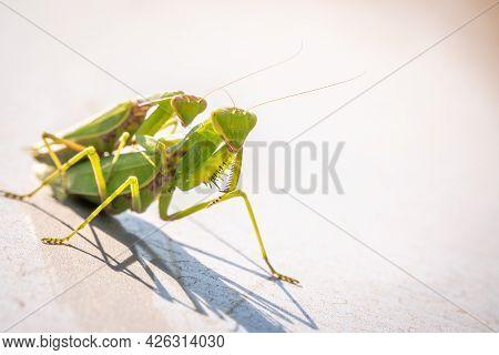 Mating Of A Pair Of Praying Mantises. Close Up Of Pair Of European Mantis, Mantis Religiosa, Or Pray