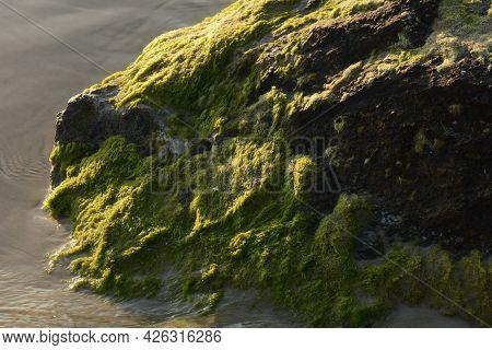 Green Algae Covered Boulder At Sea Coast Beach. Sea Algae Or Green Moss Stuck On Stone. Rocks Covere