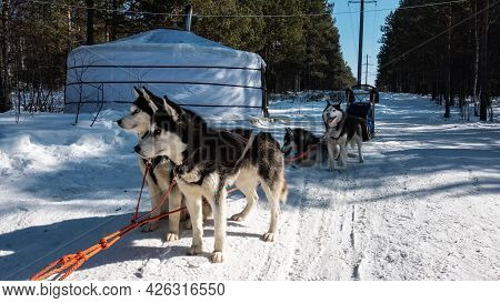 Harnessed Black And White Siberian Huskies Stand On A Snowy Road In A Coniferous Forest. The Red Rop