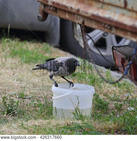 A Crow Sits On A White Plastic Bucket Of Water