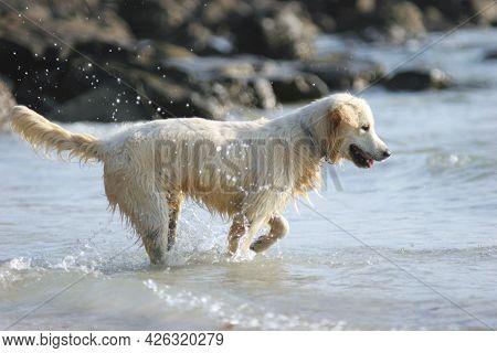 Happy White Dog Playing At The Beach. White Dog Playing Splash Water On The Beach. Baby Golden Retri
