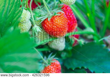 Berries Of Large Strawberries Are Spiced On The Strawberry Plant In The Garden, Many Red Ripe And Gr