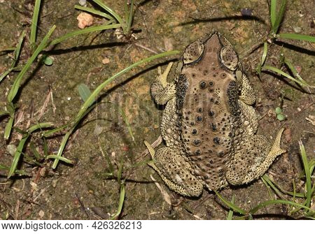 View Of Brown Patterned Toad From Above
