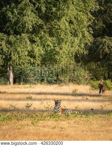 Wild Royal Bengal Tiger In Natural Green Scenic Landscape Background In Post Monsoon Season At Ranth