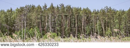 Mixed Forest Trees Panorama. A Forest Of Pine, Spruce, Oak And Birch Against A Summer Blue Sky. Seas