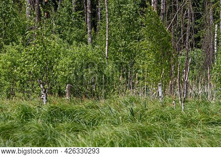 Spring Trees With Young Green Foliage In Deciduous Forest To Look In The Warm Sunny Day. Seasonal La
