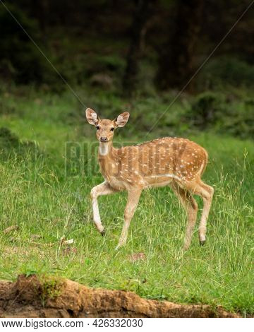 Spotted Deer Or Chital Or Axis Axis An Antler Portrait In Monsoon Green Season At Ranthambore Nation