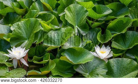 Two White Lotus Flowers And Raindrops On Leaves In Summer. Nymphaea Alba. European White Water Lily.