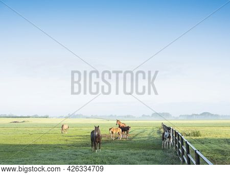 Horses In Green Grassy Meadow And Distant Farm In The Netherlands Under Blue Sky On Misty Summer Mor