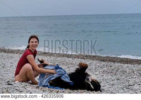 Bernese Mountain Dog Lies And Rests While Girl Gives Him Massage With Beach Towel. Dog Traveler Enjo