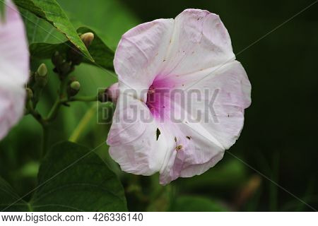Close-up View Of The Ipomoea Carnea Flower. The Bush Morning Glory Flower.