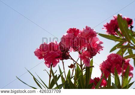 Pink Flowers Behind Blue Sky On Corfu Island, Greece. Pink Oleander Flowers, Blue Sky Behind. Copy S