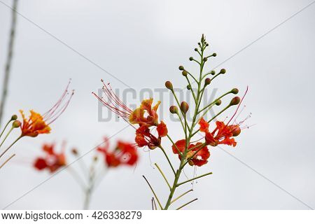 Flam-boyant, The Flame Tree, Royal Poinciana, Delonix Regia Is A  Bright Orange Flowers Species Of F