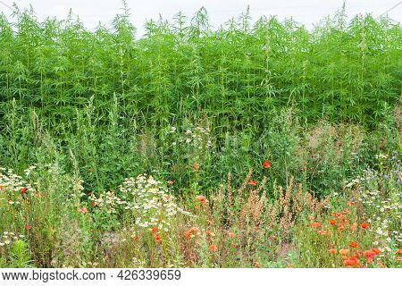 Multicolored Blooming Summer Meadow With Poppies, Hemp. Wild Summer Flowers Of The Field.