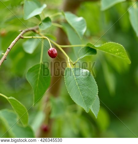Unripe Fruit Of A Mahaleb Cherry (prunus Mahaleb) At The Edge Of The Forest In Summer