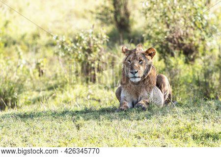 Watchful juvenile lion, panthera leo, in the afternoon sunshine of the Masai Mara, Kenya.