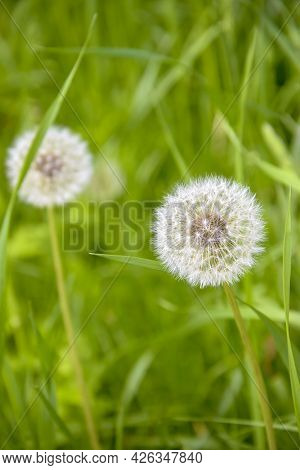 White Fluffy Dandelions On Blurred Background Of Green Grass. Close-up. Copy Space. Soft Focus.