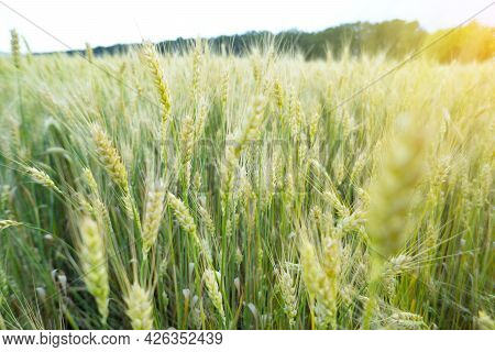 A Young Green Wheat In The Field