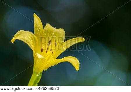 Yellow Flower With Dark Background. Hemerocallis Lilioasphodelus. Hemerocallis Flava. Lemon Daylily.