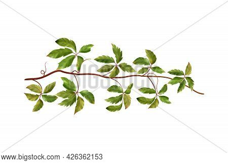 Realistic Wild Grape Vine With Green Leaves On Blank Background Vector Illustration
