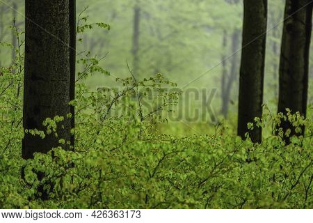 Spring Forest With Beech Trunks And Green Leaves