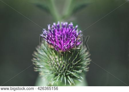 Thistle Close Up. Thistle During Hot Summer
