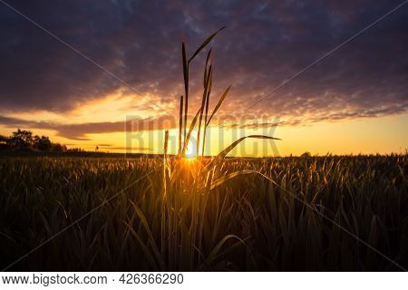 The Summer Sun Rising Over A Crop Field. Rural Scenery During Sunrise. Summertime Scenery Of Norther