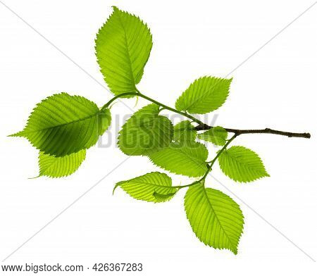 Growing Leaf. National Forest Conservation Day.  Banner. Leaves Isolated On White. Leaf  Are Suitabl