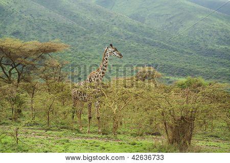 Giraffe Showing Tongue