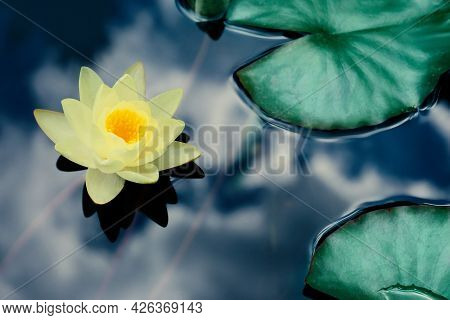 Beautiful Lotus And Leaves On Water, Symbolic Flower In Buddhism. Indian Religion