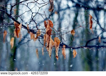 Wet Snow In Late Autumn Or Early Winter In The Forest. Wet Tree Branch In The Forest During The Rain