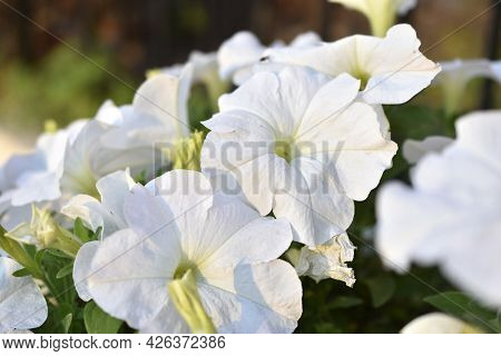 White Petunia In The Garden In The Evening In The Light