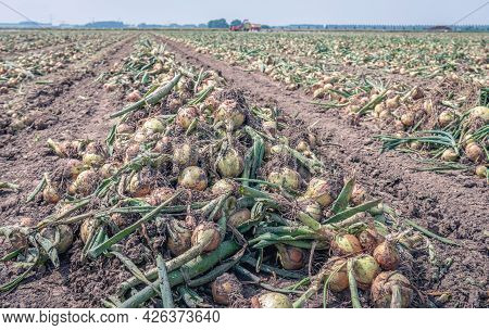 Long Converging Rows With Harvested Onions Drying On A Dutch Field Ready To Be Picked Up Mechanicall