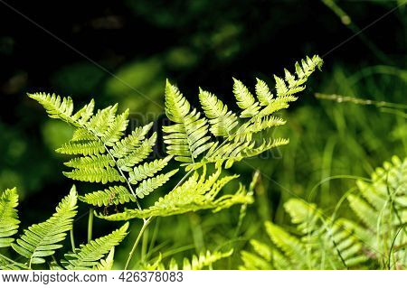 Branch Of A Fern Bush Or Plant Growing Wild In The Forest. Polypodiopsida Or Polypodiophyta Is A Vas