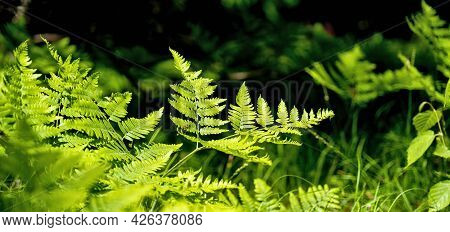 Fern Bush Or Plant Growing Wild With Other Vegetation In The Forest. Polypodiopsida Or Polypodiophyt