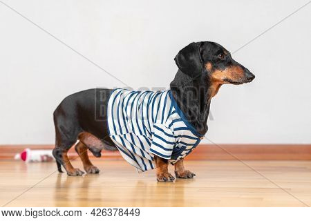 Lovely Dachshund Dog In Home Blue And White Striped T-shirt Obediently Stands And Waits For A Walk,