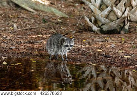 Young Raccoon Procyon Lotor Forages For Food In A Swamp Pond In Naples, Florida.
