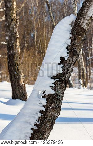 Snow Crawling On The Tree. White Snow Accumulated On A Birch In A Winter Forest During A Thaw