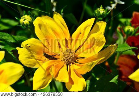 An Insect On A Yellow Daisy Flower With A Bokeh Background Of Green Leaves. Life, Well-being, Hope,