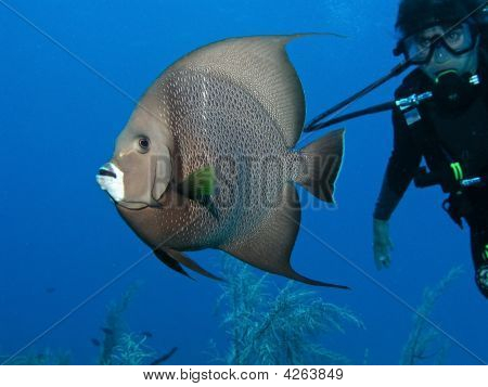 Scuba Diving Female With Large Angelfish