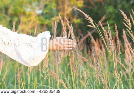 Female Hand Touches The Spikelets Of Grass During A Summer Walk.part Of The Figure Of A Girl In Ligh