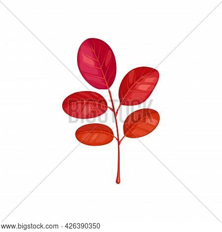 Autumn Leaves On Branch, Acacia Tree Fall Foliage, Vector Isolated Icon. Acacia Leaf On Branch Twig,