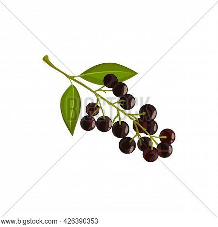 Bird Cherry Berries, Autumn Leaf And Fall Trees Foliage, Vector Isolated Icon. Bird Cherry Tree Bran